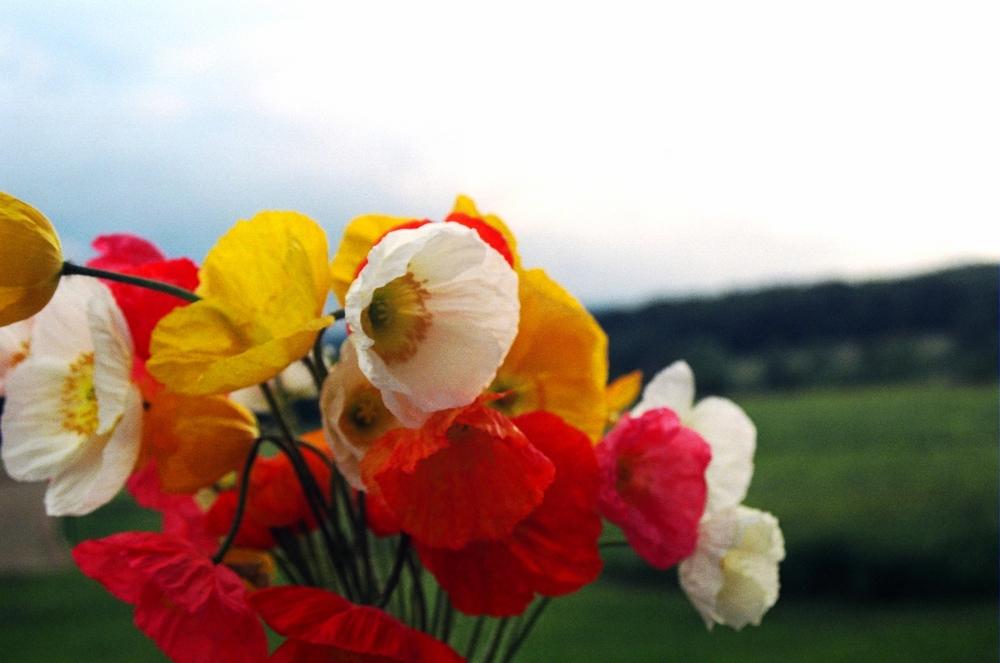 poppies 1.JPG