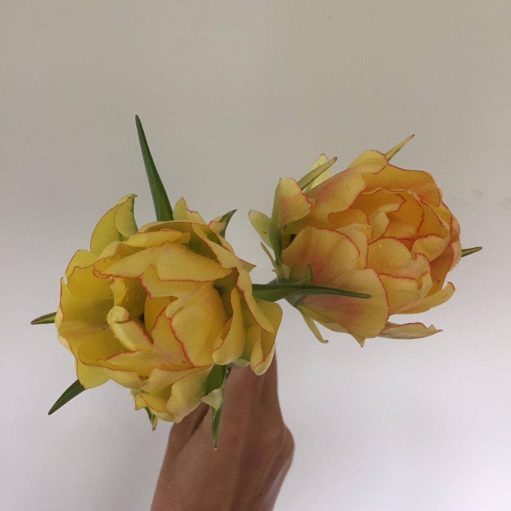 Tulip, Akebono