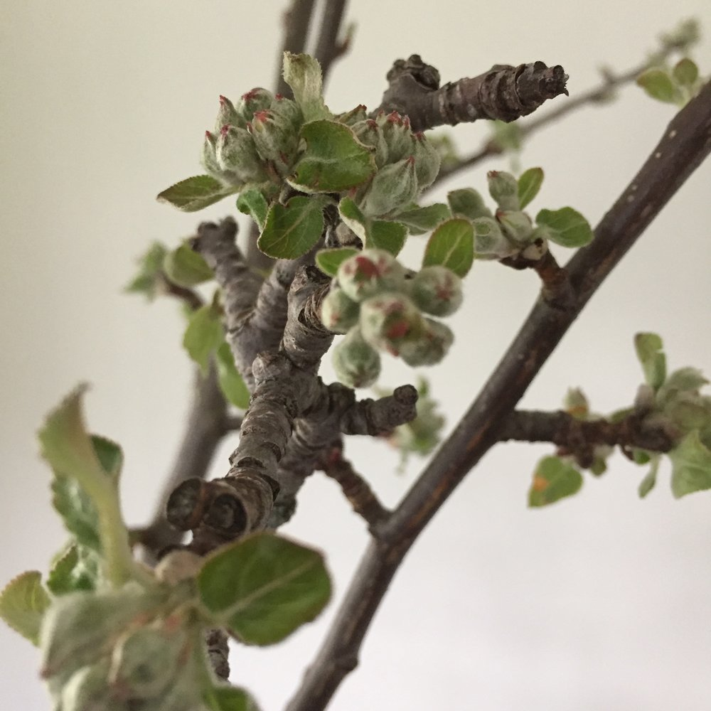 Appleblossom buds