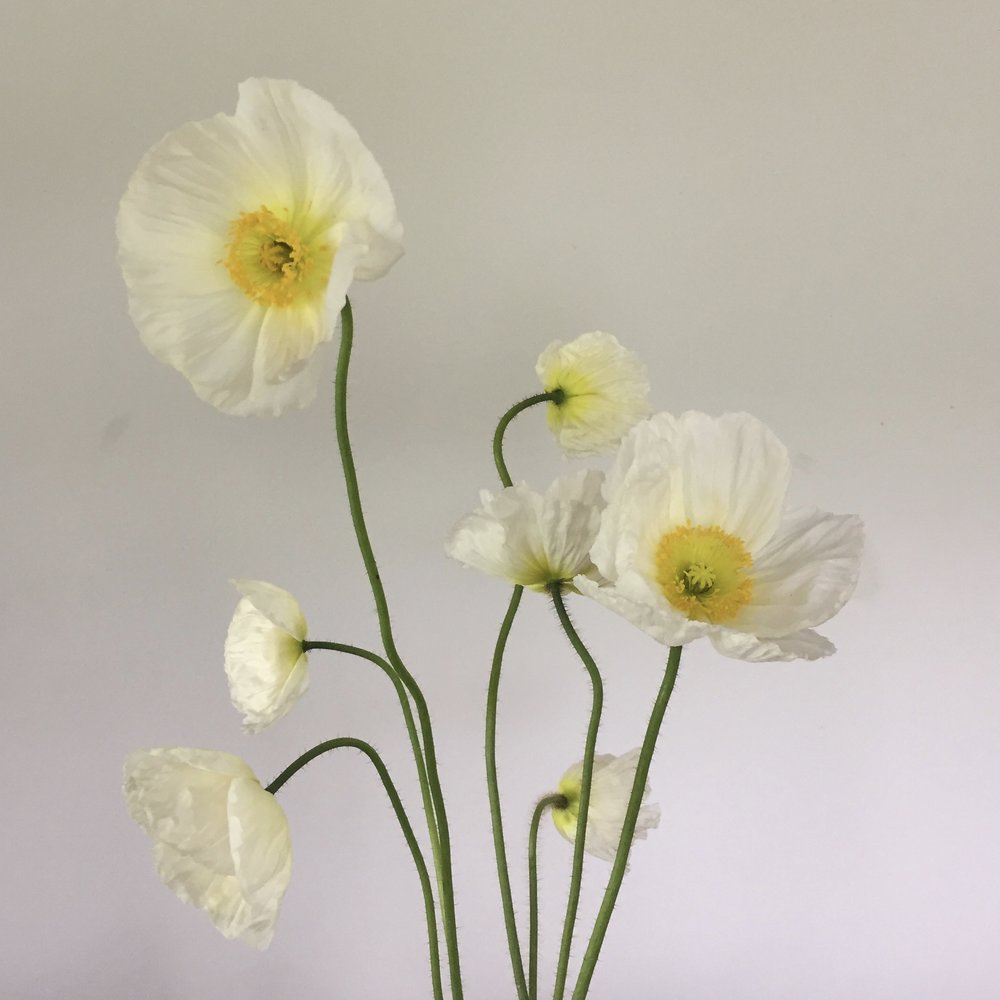 Icelandic Poppy, white