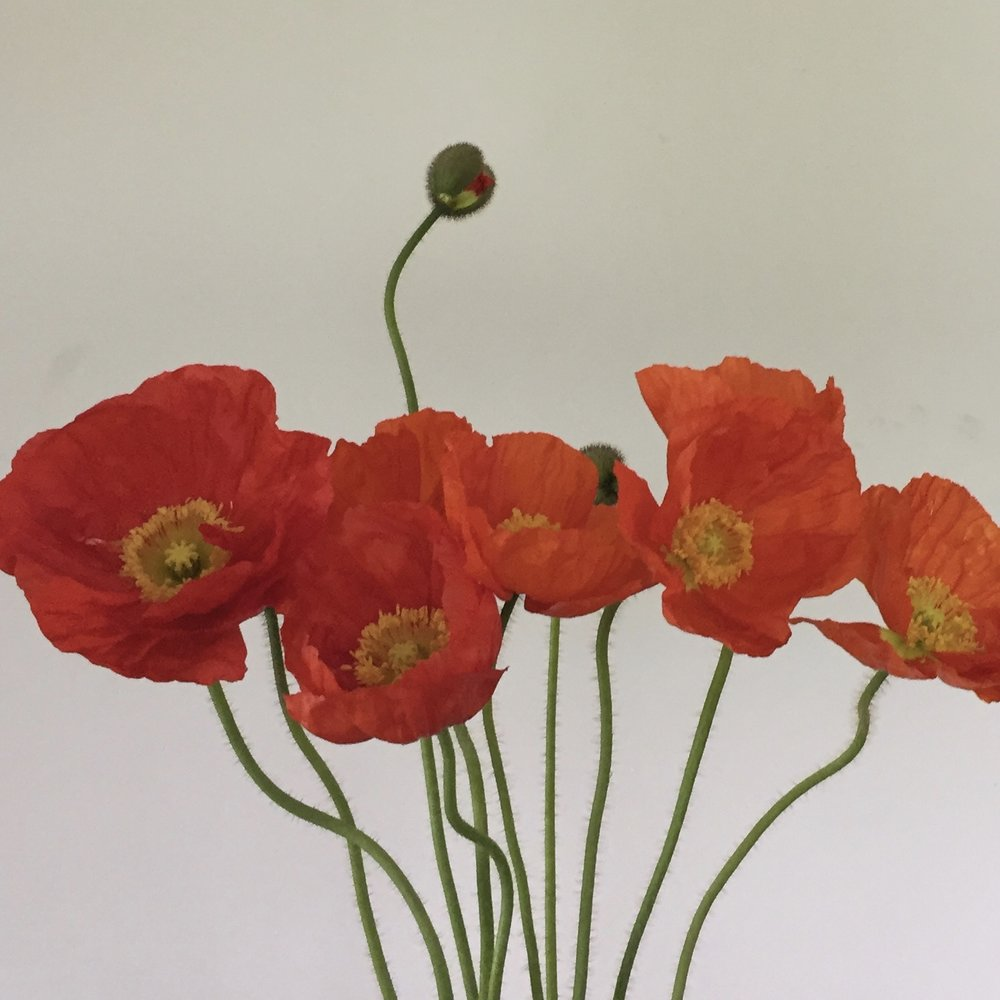 Icelandic Poppy, red