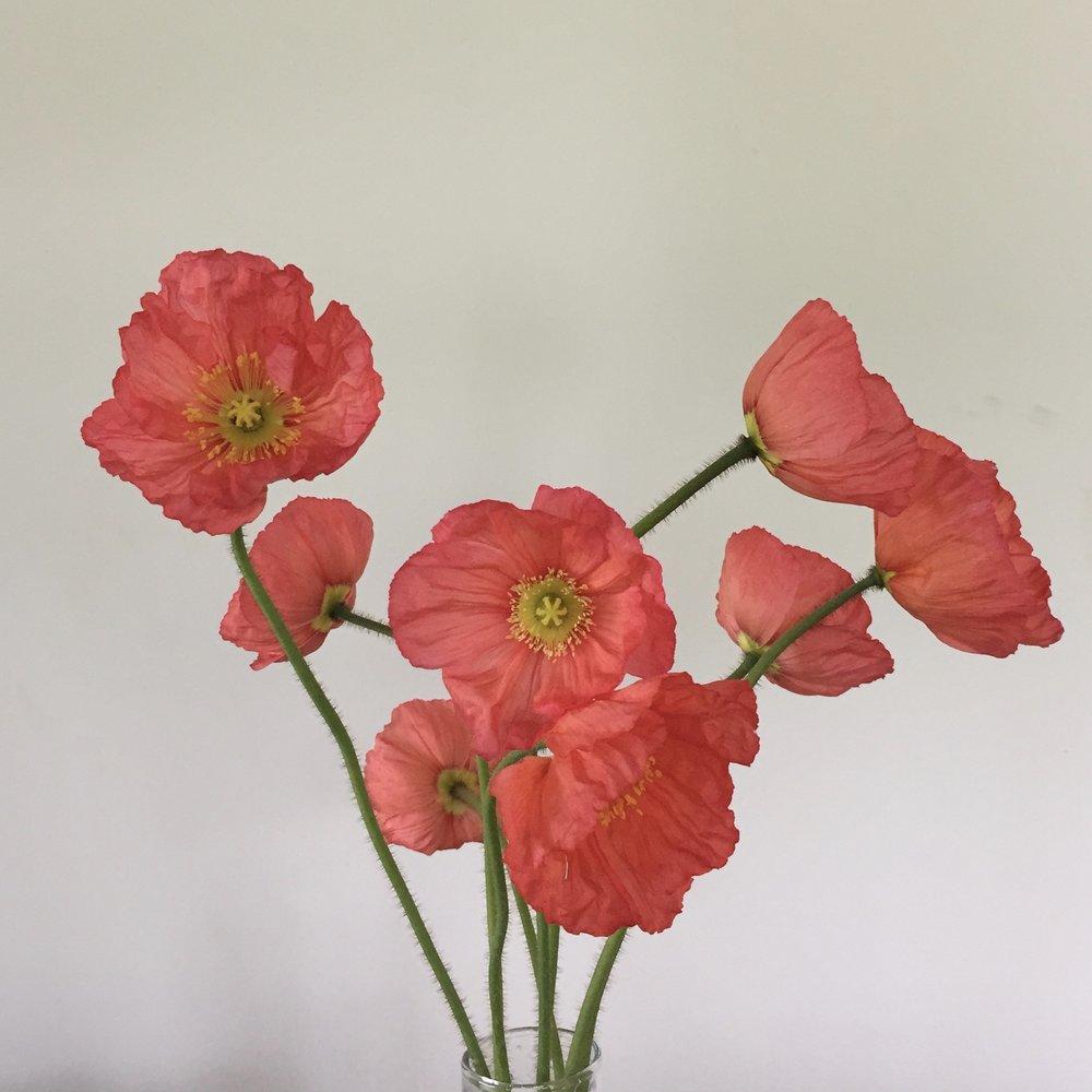 Poppy, pink