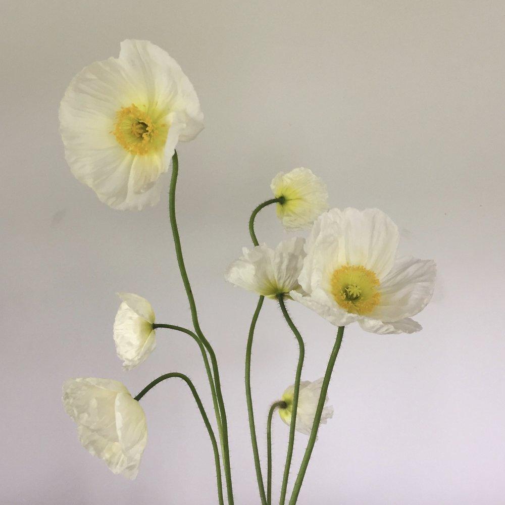 Poppy, white