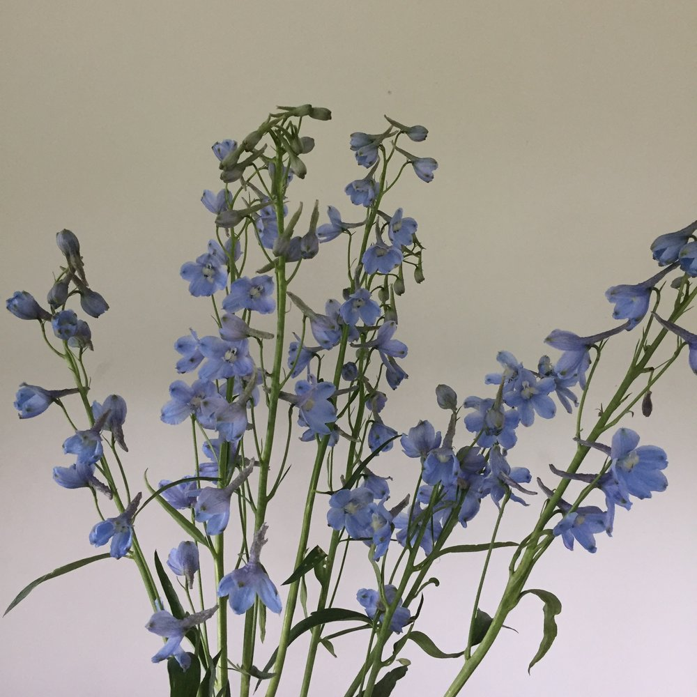 Delphinium belladonna, light blue