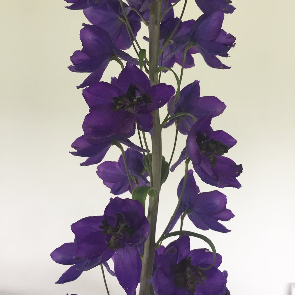 Delphinium cultorum, dark purple