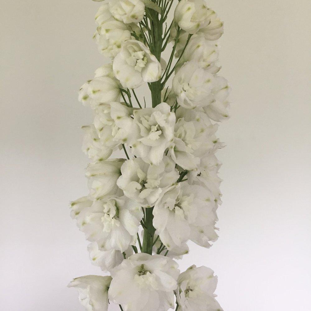 Delphinium cultorum, white w/ white bee