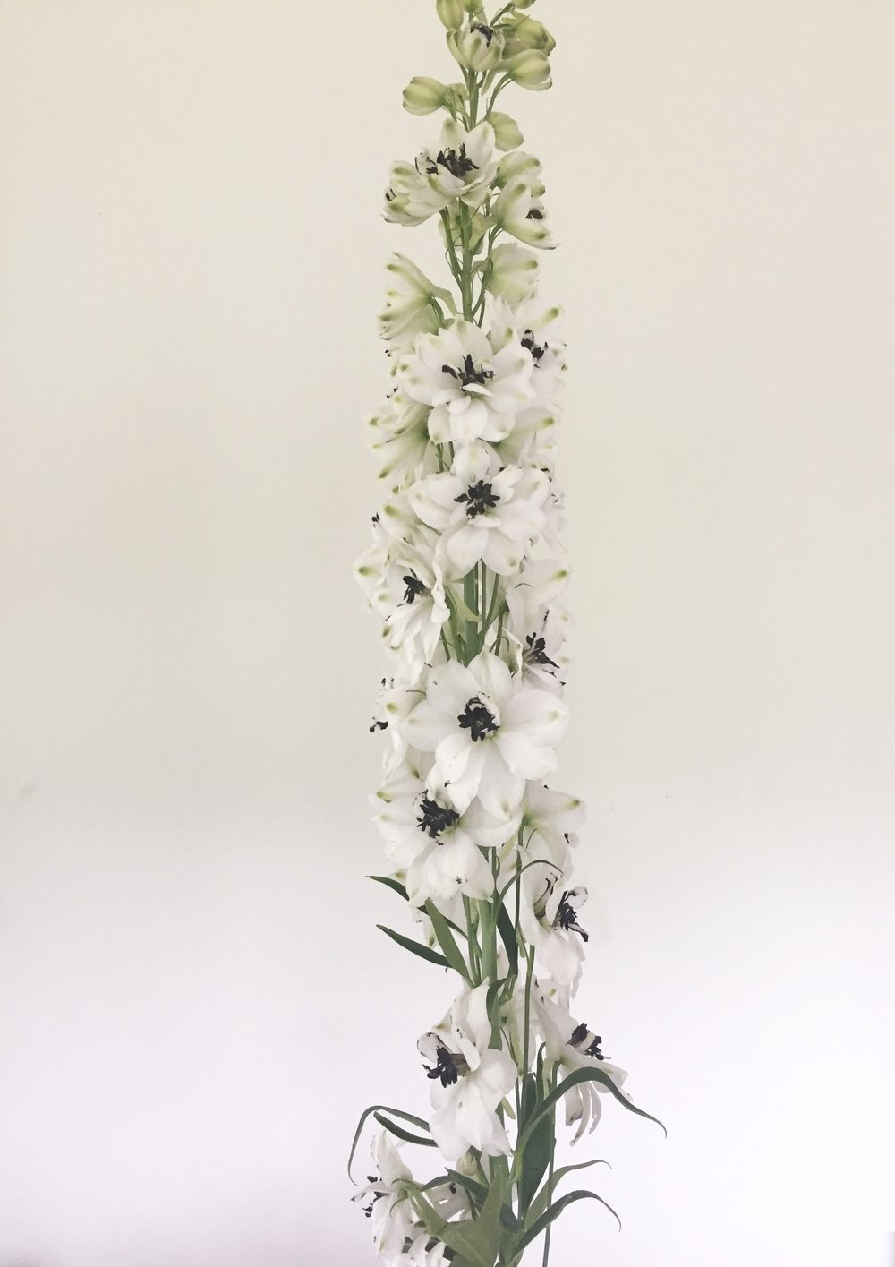 Delphinium cultorum, white w/ dark bee