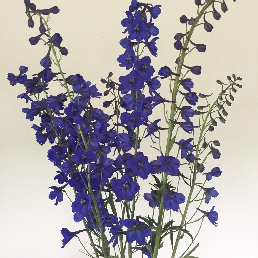Delphinium belladonna, dark blue