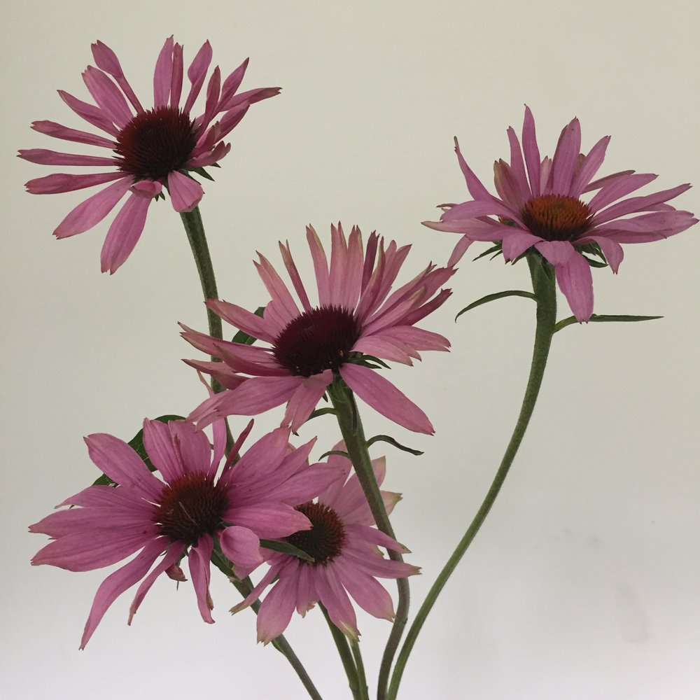 Echinacea - PowWow pink