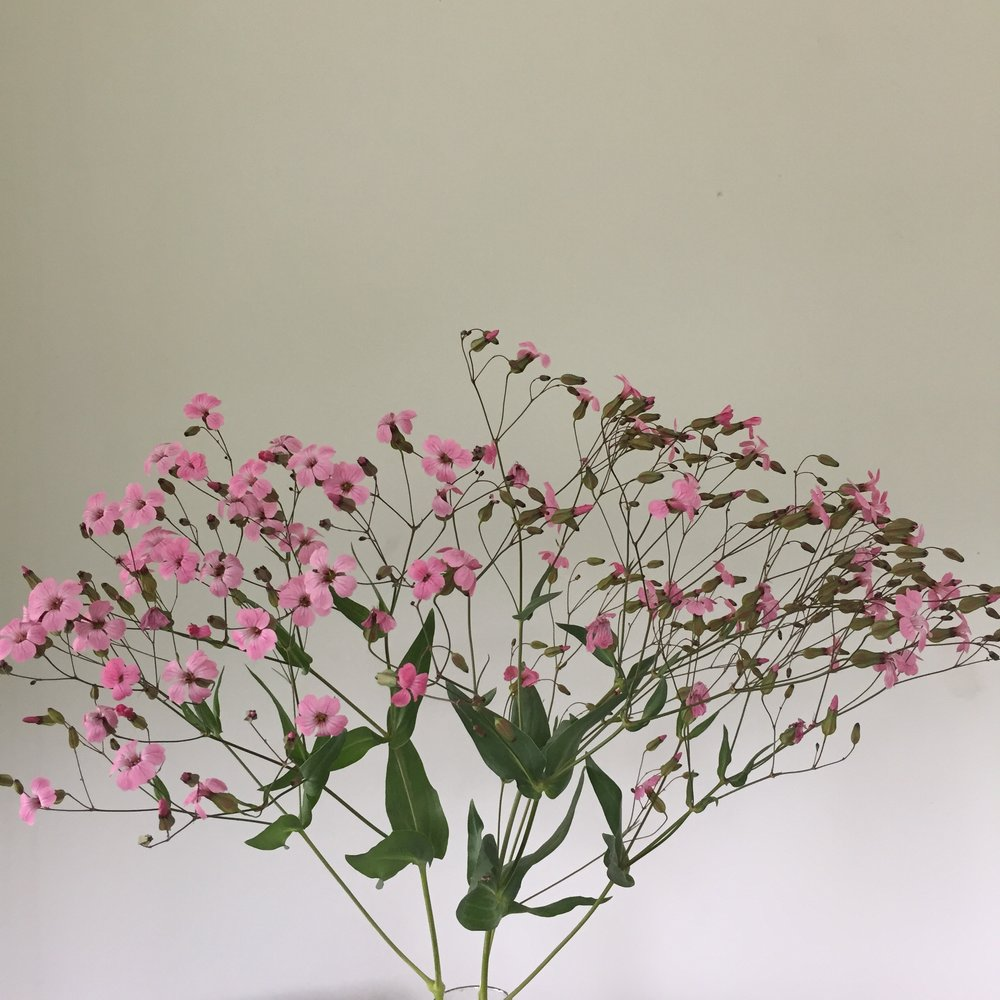 Saponaria - Pink
