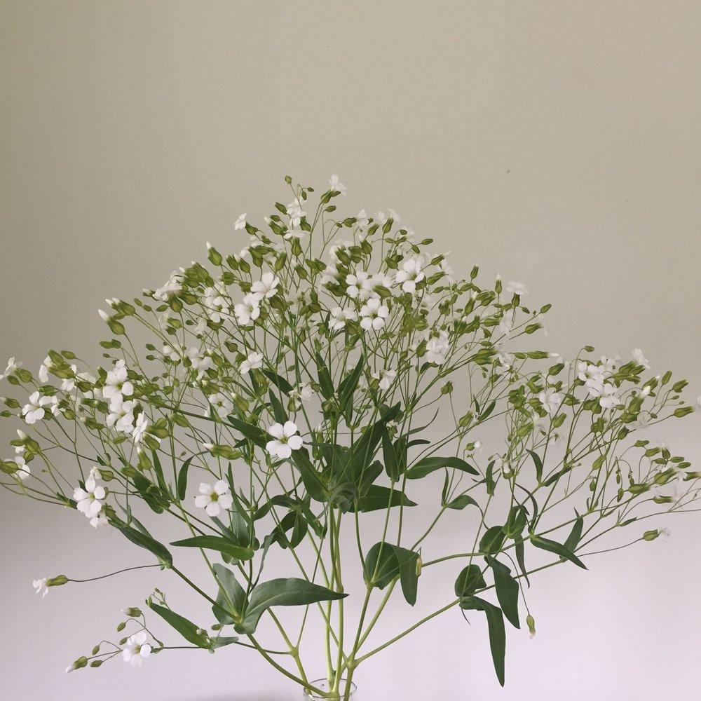 Saponaria - White