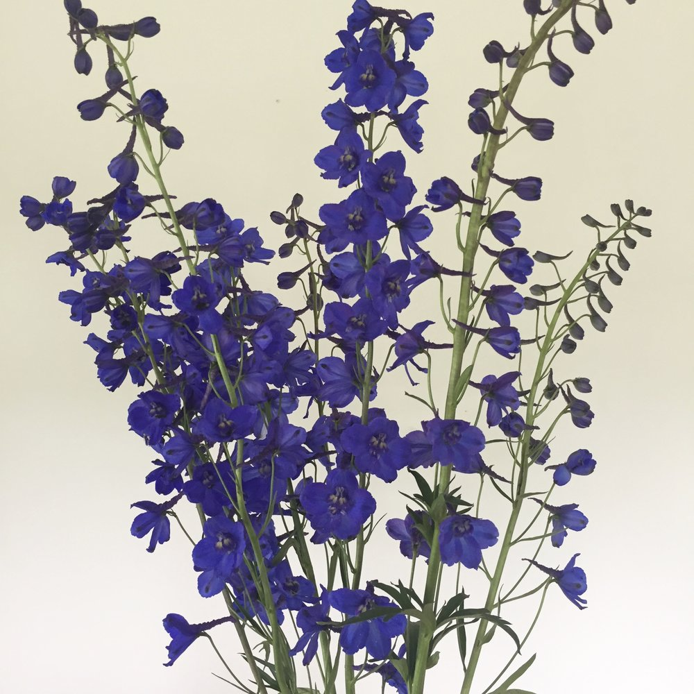 Delphinium belladonna dark blue