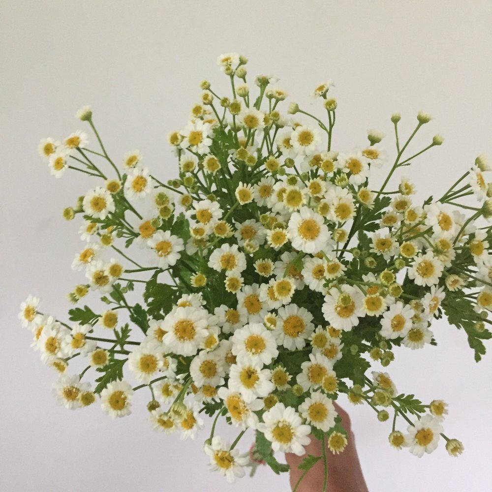 Feverfew Magic Single