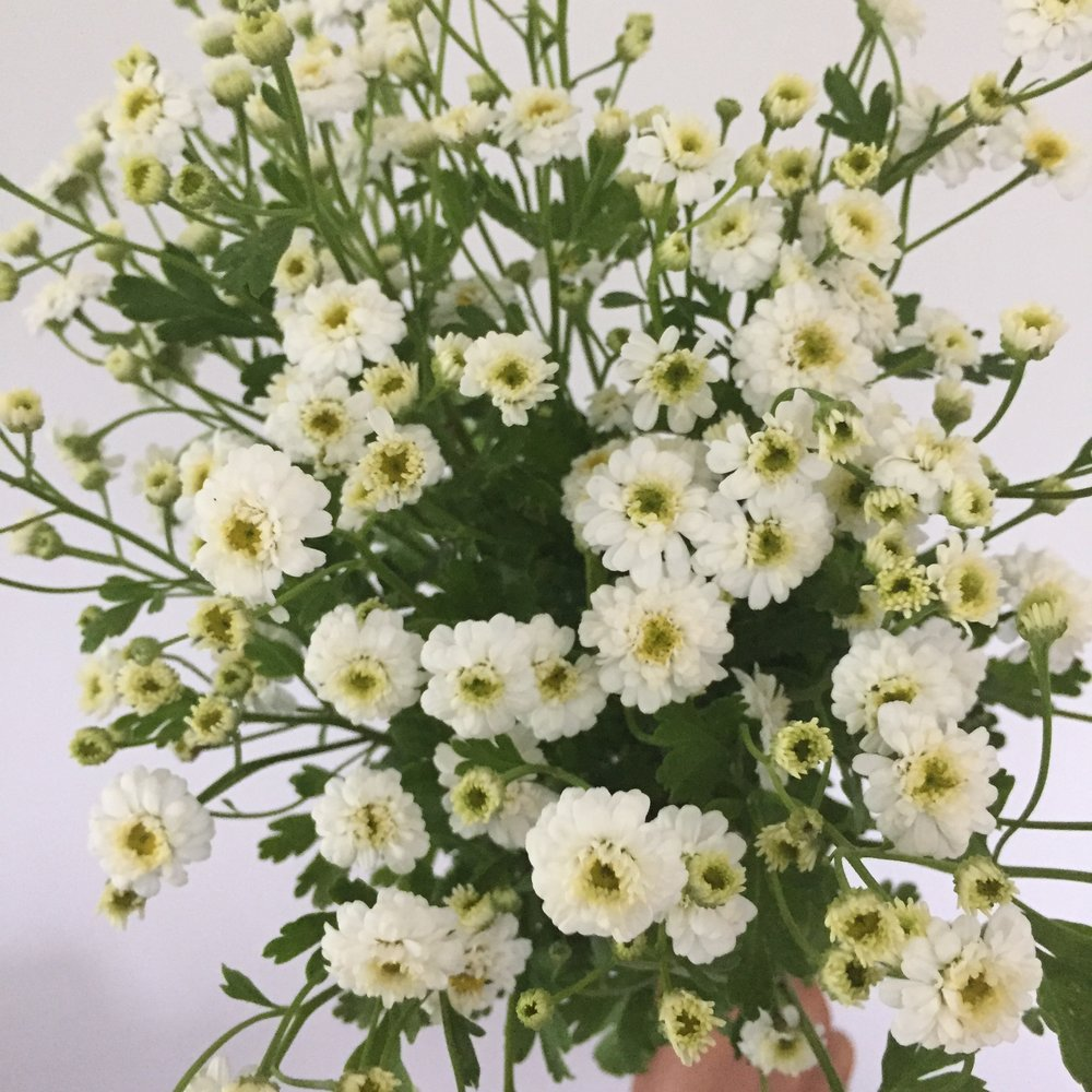 Feverfew Magic Double