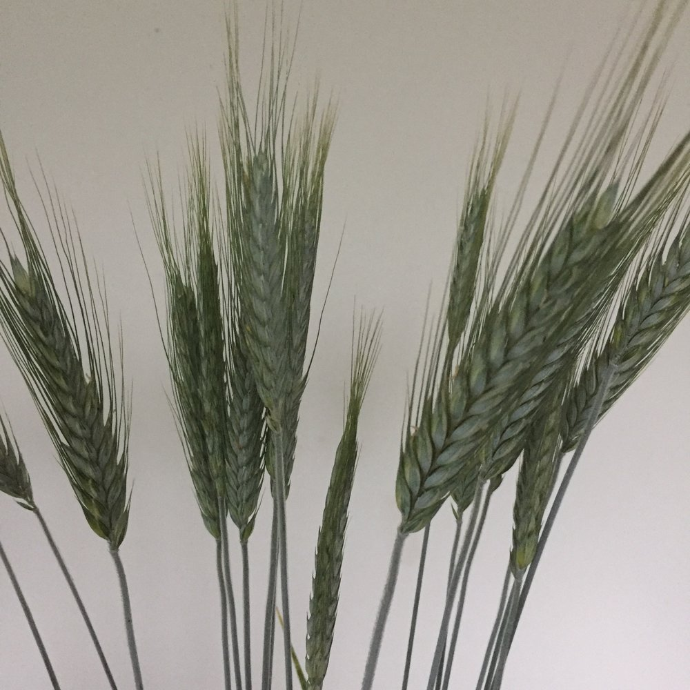 Silvertip Wheat