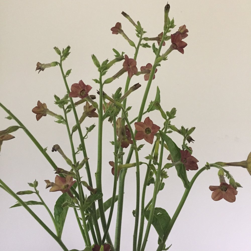 Nicotiana Chocolate Smoke