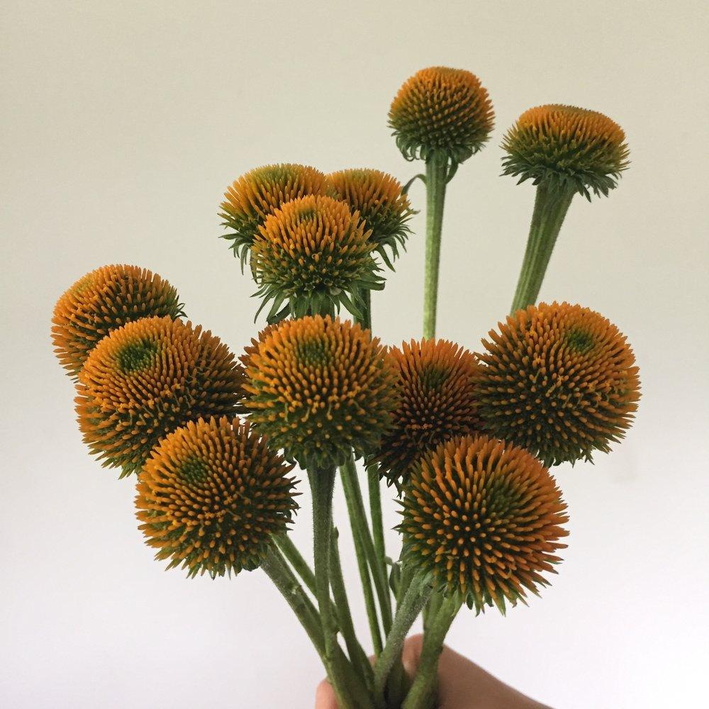Echinacea pods - yellow
