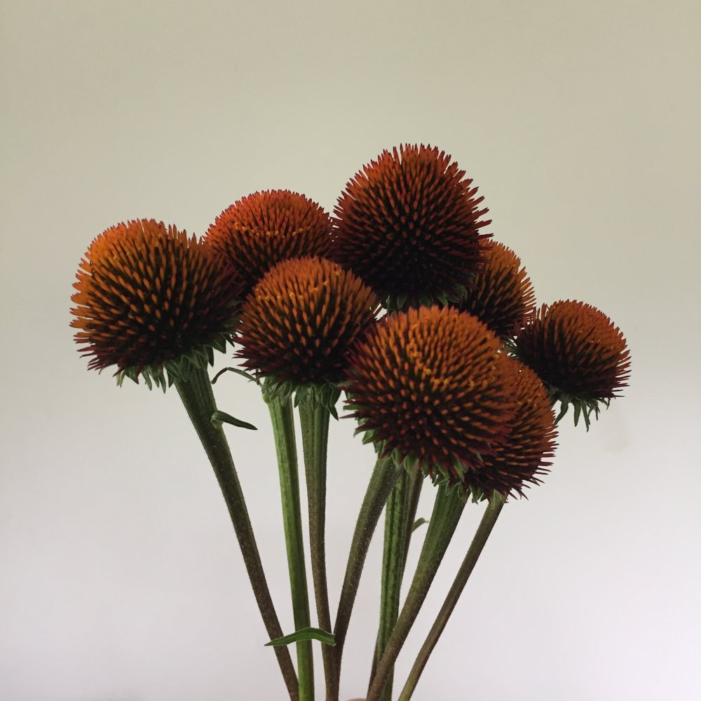 Echinacea pods - deep orange