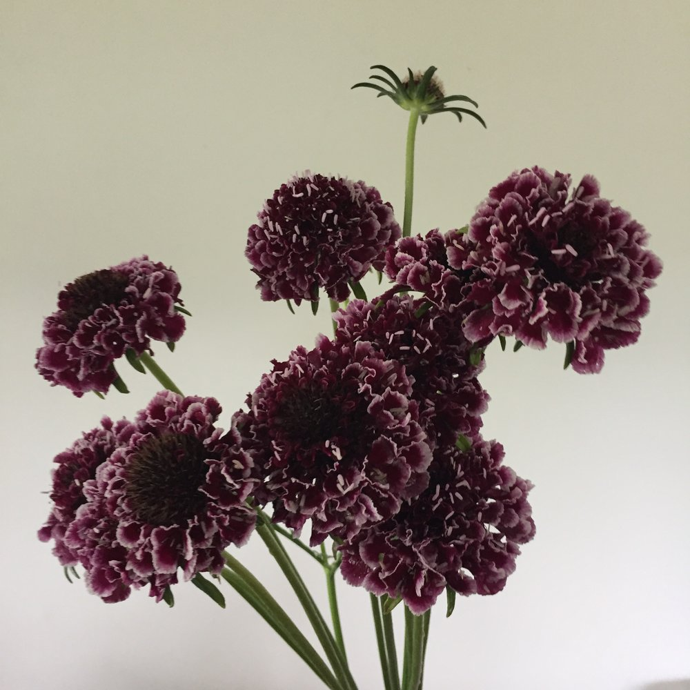 Scabiosa Scoop Cherry Vanilla