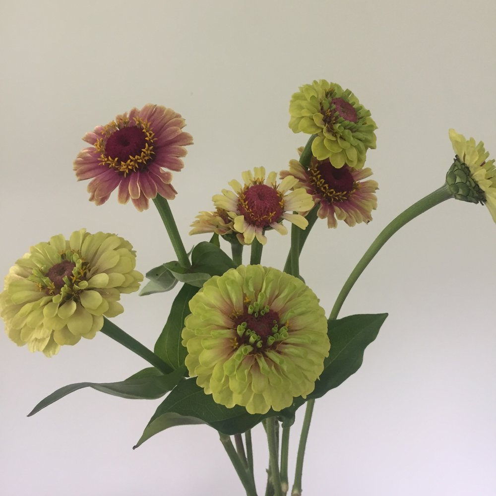 Zinnia Queen Lime Blush