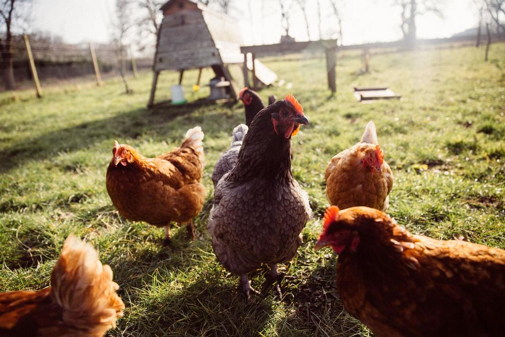 Chickens on the glampsite smallholding
