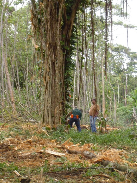 "Here they are cutting the tree. You can see that it was covered by what's called a ""strangler fig"" that will eventually kill the host tree. This Mahogany tree was cut down from one of the overgrown lots, along where the train use to run."