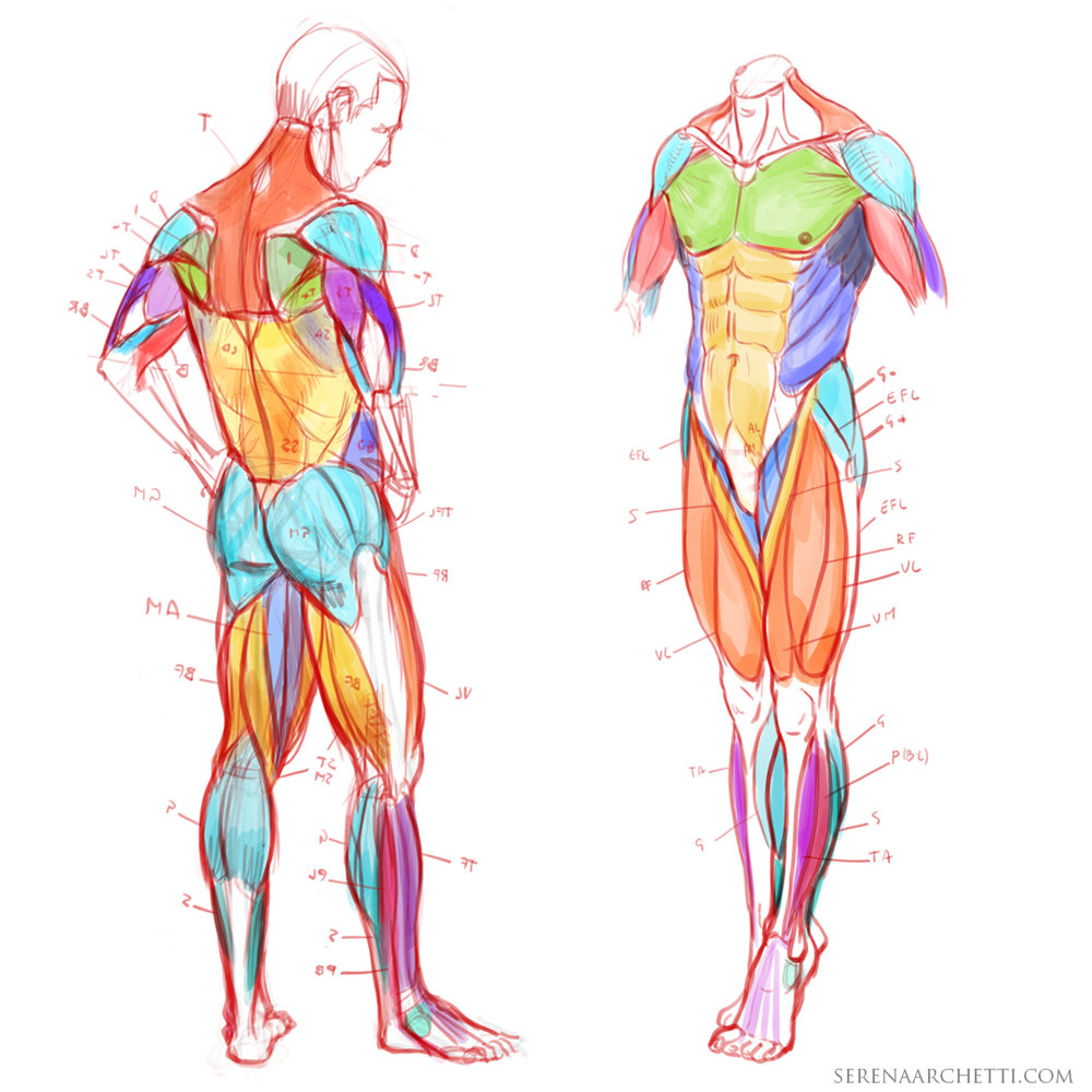 human anatomy for artists tutorial serena archetti.jpg