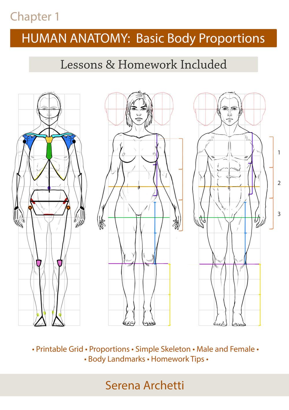 Human Anatomy Body Proportions Tutorial Homework Serena Archetti