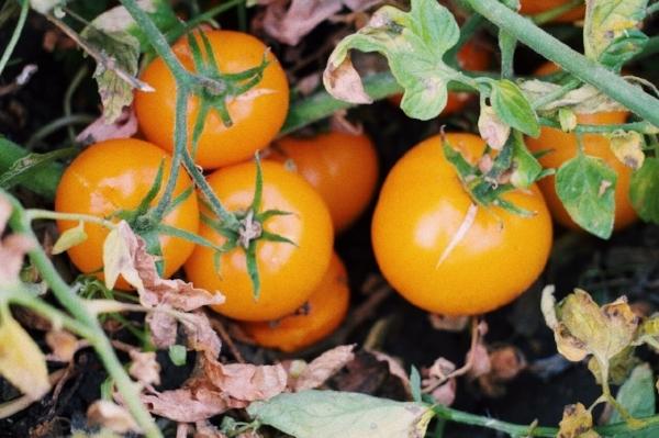 tomato 4.jpg