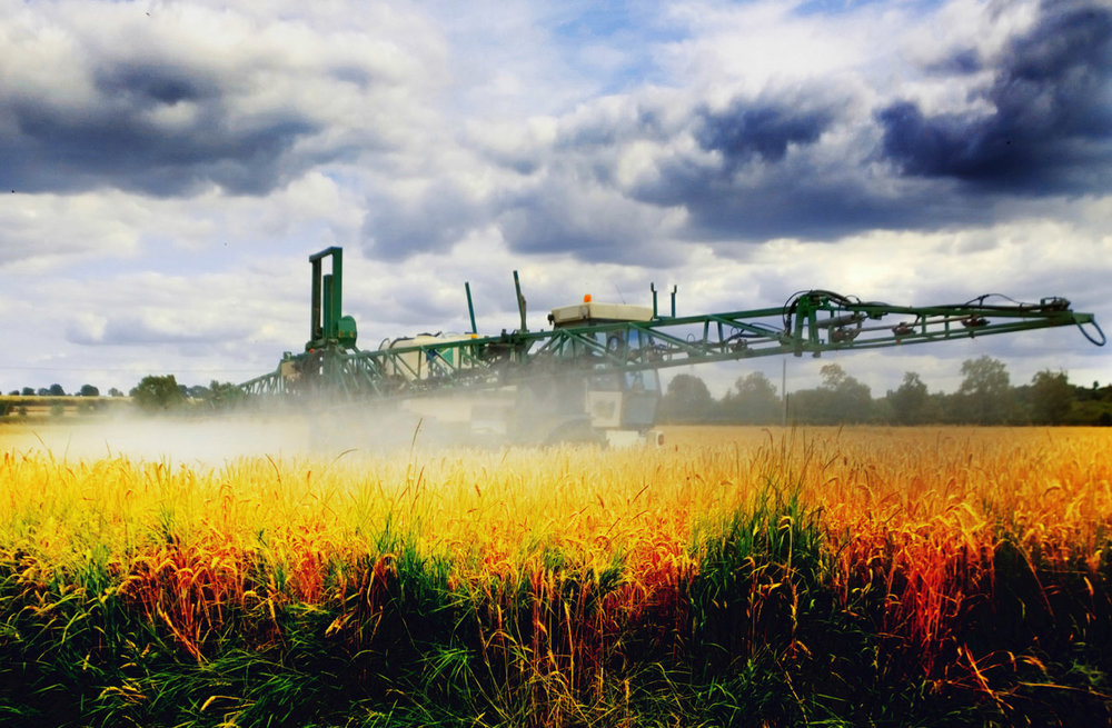GMO FREE WHEAT - SPRAYED WITH ROUND-UP AT HARVEST TIME TO AID MECHANICAL HARVEST