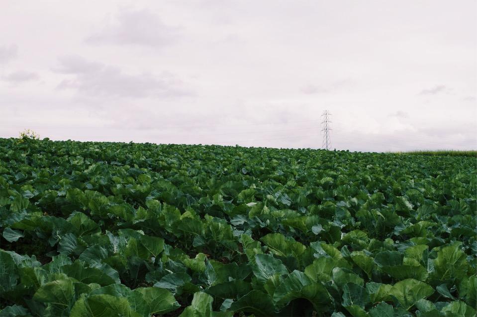 Romanesco Field from Lakeside Farm
