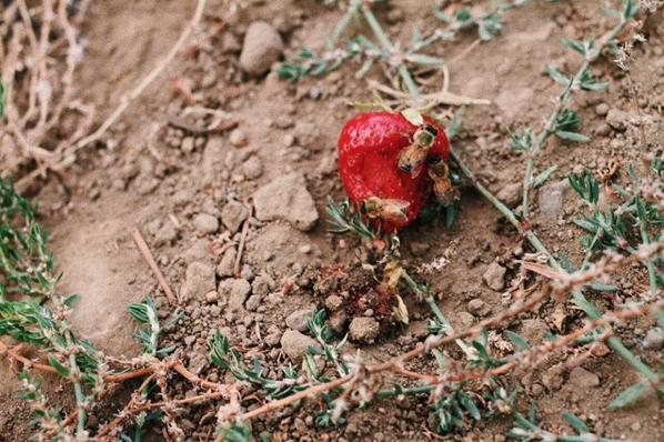 Bees & Strawberries - 8/21/18