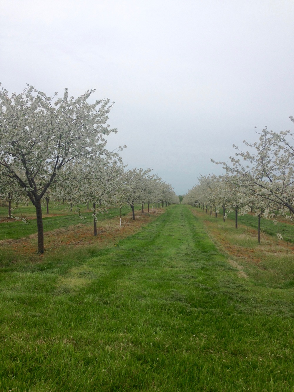 One of Seaquist's Orchards 2015 North of Sister Bay.