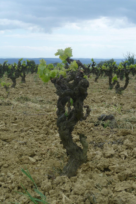 Anciens Vineyard Carignan - Jacques herviou.JPG
