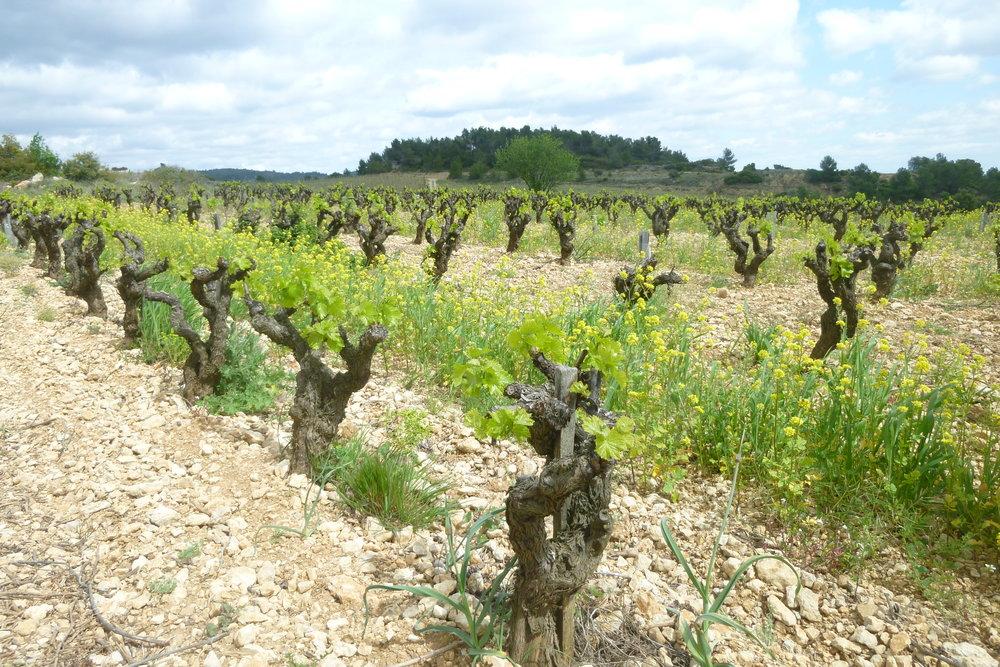 Les Anciens Carignan vineyard - jacques herviou.JPG