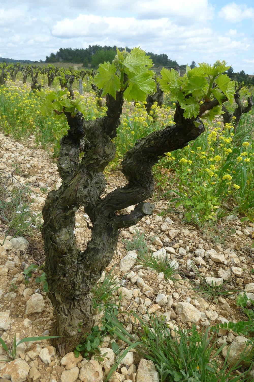 Les Anciens Vineyard - jacques herviou.JPG