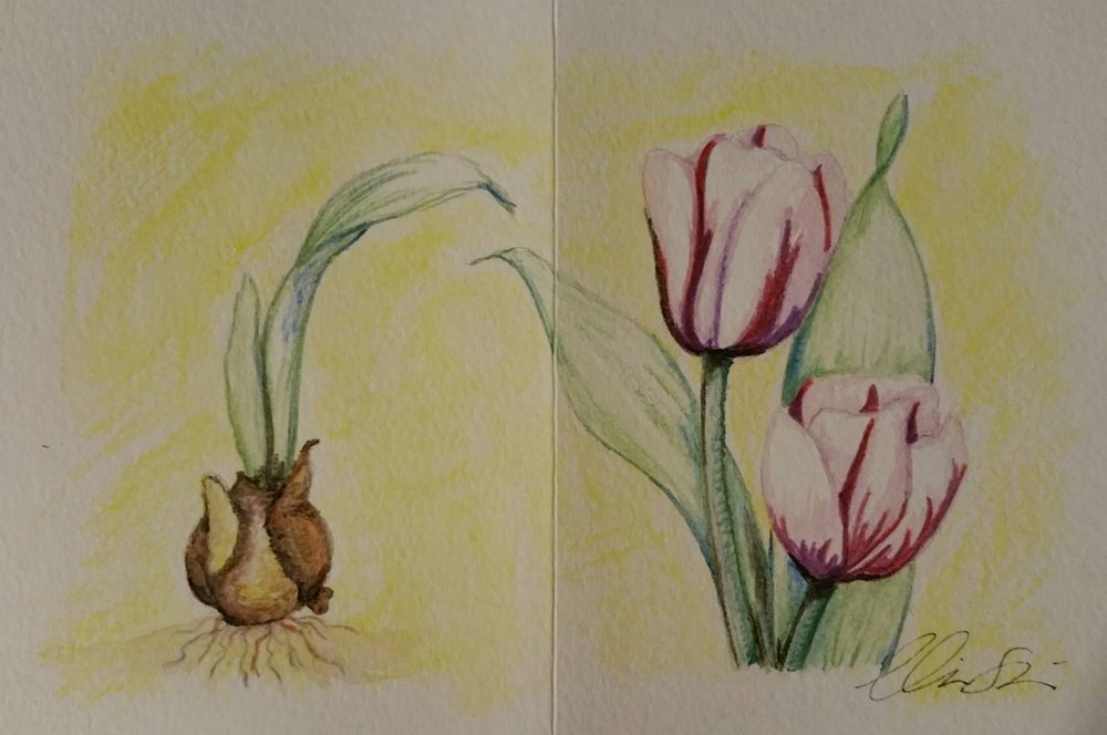 Variagated Tulips