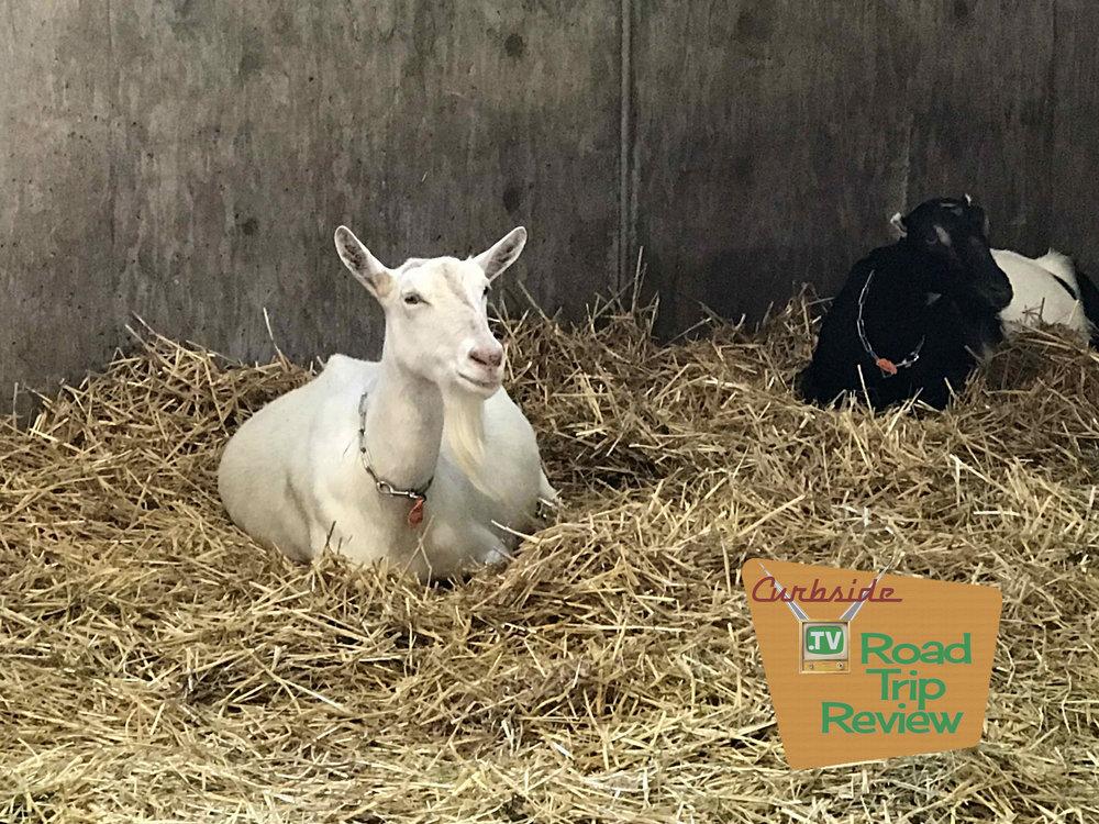 Goats at Pennyroyal Farm