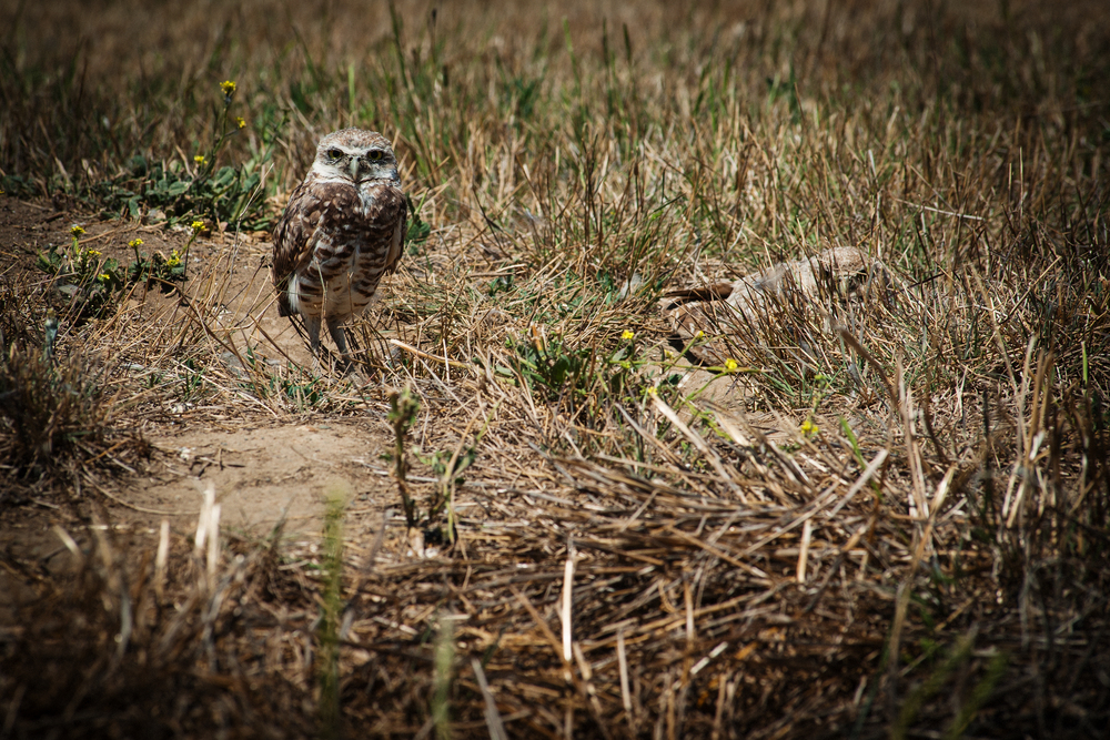Ground Owls
