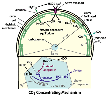 Overview of the CCM modeled in Mangan et al.