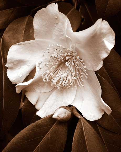 Camellia-3.jpg