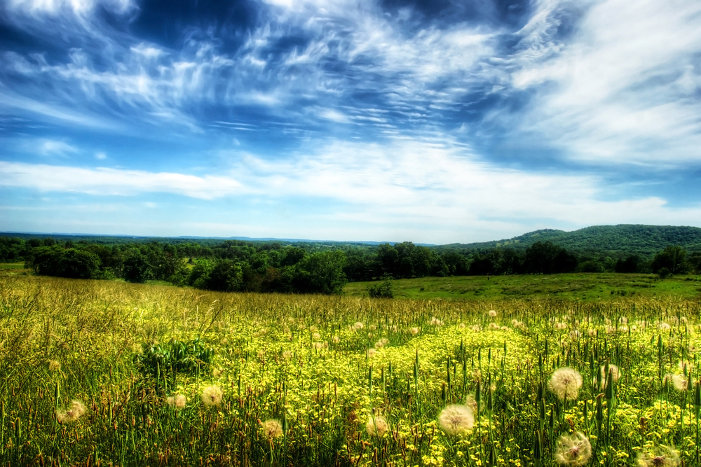 dandilion field.jpg