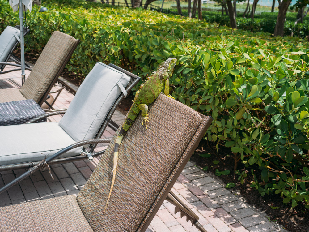 Nick-Johnson-Photography-Iguana.jpg