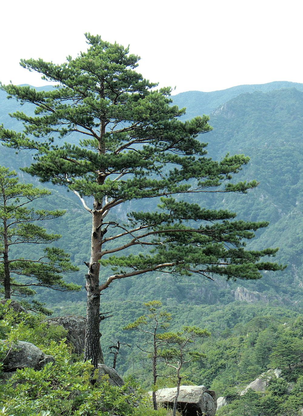 Pinus_densiflora_Kumgangsan.jpg