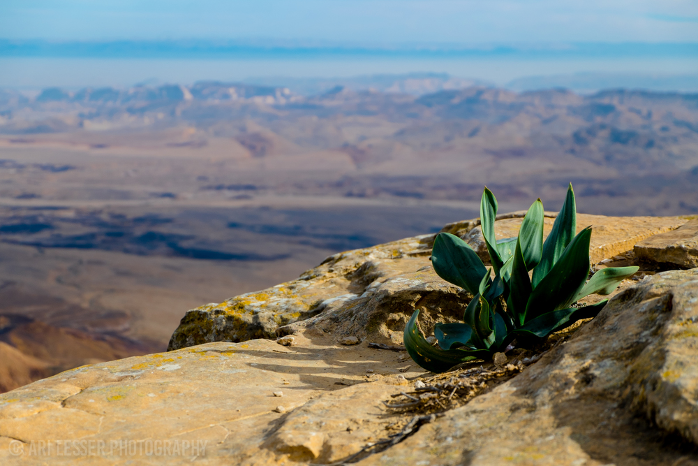 Plant life growing on the side of a gigantic canyon (CRATER) called Mitzpe Ramon.