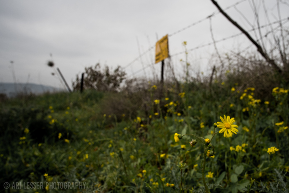 Small flowers right next to the border of an abandoned (but active) Syrian mine field in the Golan Heights.