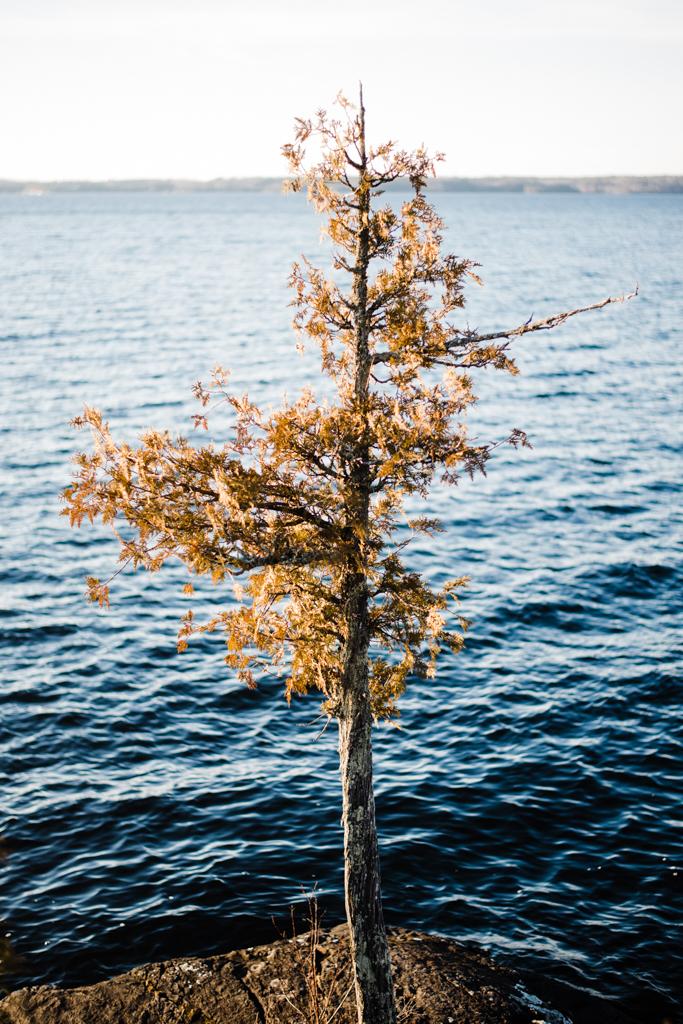 Lone Tree (8x12)*