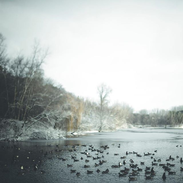The geese seem to tolerate the bitter cold better than I am. ❄️