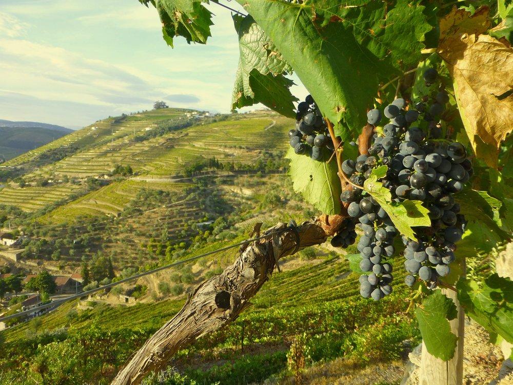 7-Terraces-grapes.jpg