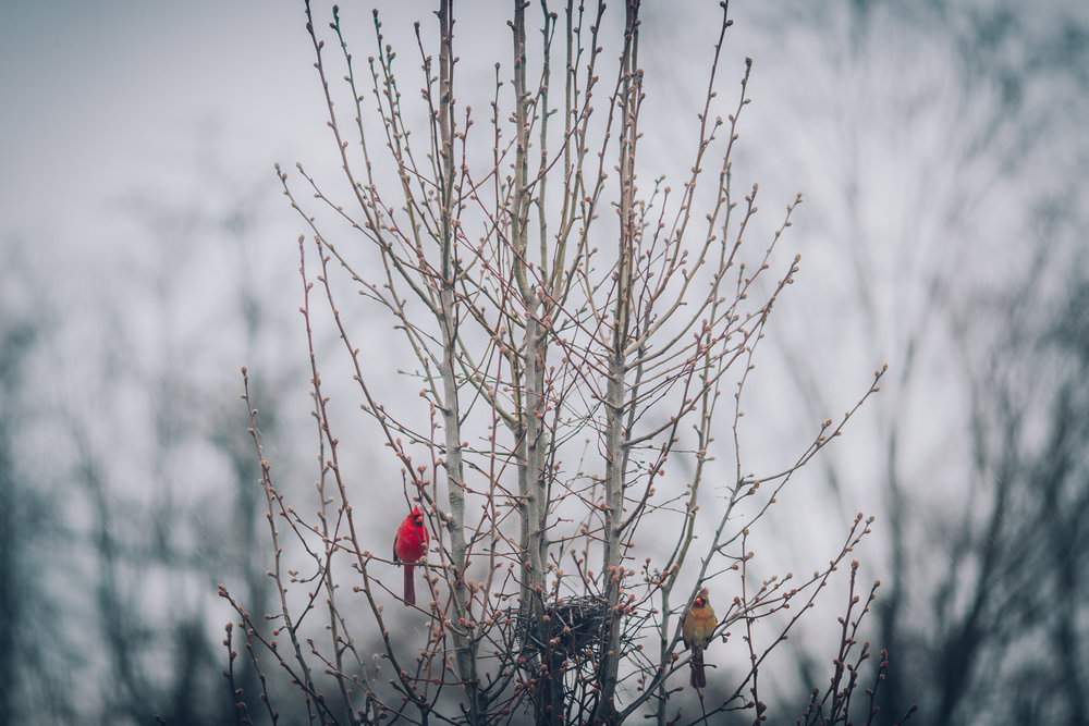 Pair of Cardinals in Pear Tree